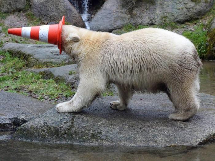 vlc-bear